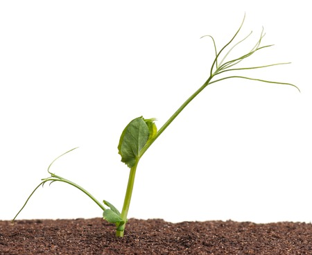 sprouted: Sprouted young pea in the organic soil over white background