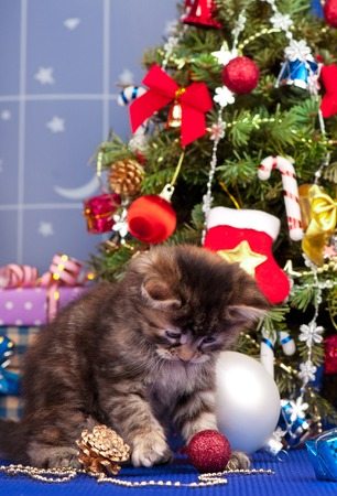christmas pussy: Cute fluffy kitten over Christmas spruce background Stock Photo