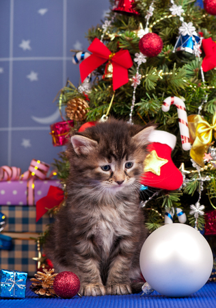 christmas pussy: Cute fluffy kitten near Christmas spruce with gifts and toys close up