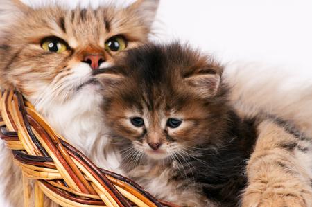 Lovely siberian cat with cute little kitten over white background. Focus on the kitten Stock Photo