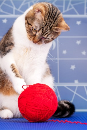 hilo rojo: Cute adult tabby with red yard ball over blue background