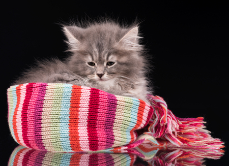 intriguing: Cute fluffy kitten on the knitted scarf over black background