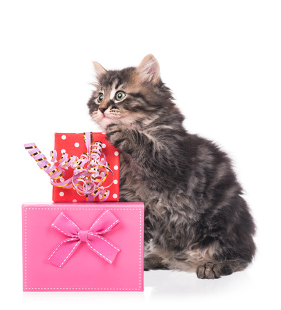 siberian: Cute fluffy kitten with gift box isolated over white background Stock Photo