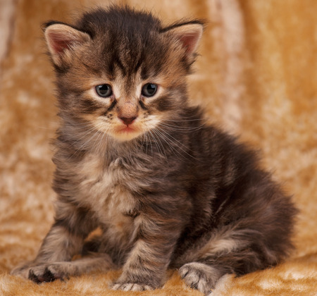 pity: Sad little kitten sits over dirty mustard color background