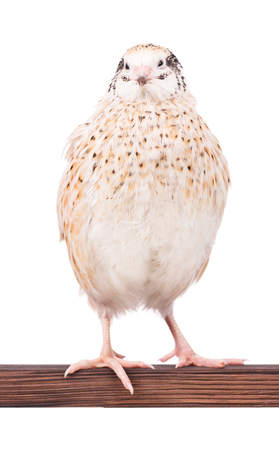 Cute adult quail on the perch.