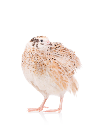 Cute adult quail isolated over white background cutout