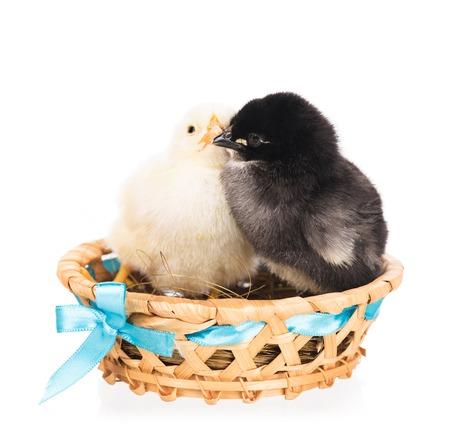 Nette neugeborene Hühner im Weidenkorb lokalisiert über weißem Hintergrund Standard-Bild - 85542401