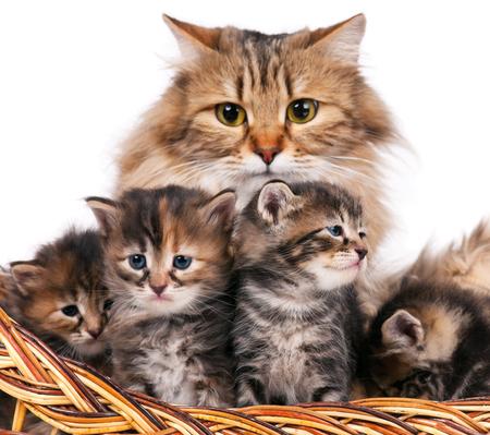 Lovely siberian cat with cute little kittens over white background. Focus on the kitten
