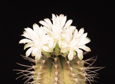 Makroaufnahme Einer Schönen Hellrosa Blühenden Kaktusblüte Auf Weiß ...