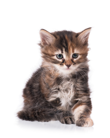 The curious little siberian kitten isolated over white background