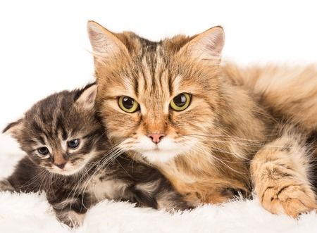 Cute siberian cat with little kitten over white background Stock Photo
