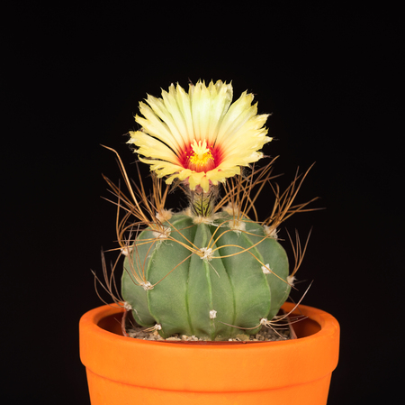 Bright yellow cactus flower over black background