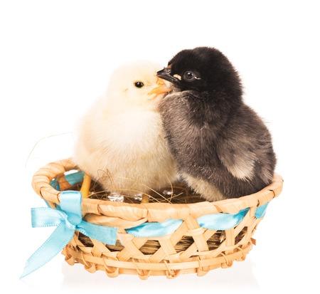 Nette neugeborene Hühner im Weidenkorb isoliert über weißem Hintergrund Standard-Bild - 86479553