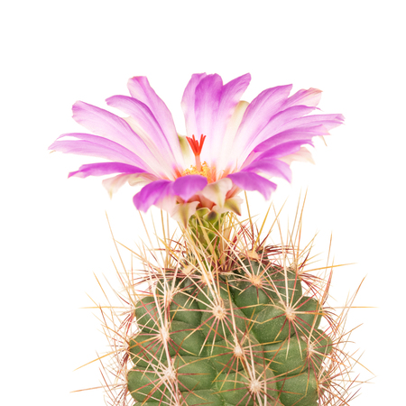 Bright cactus flower in the flowerpot isolated over white background