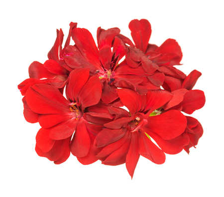 Fresh bright red geranium isolated over white background