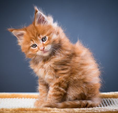Fluffy Maine Coon kittens over grey background