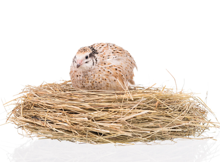 Cute quail with eggs in the straw nest over white background