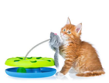 Cute Maine Coon kitten with toy mouse isolated over white background