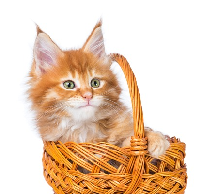 Fluffy Maine Coon kitten in the wicker basket isolated over white background