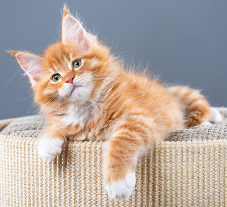 Fluffy Maine Coon kitten on the couch over grey background