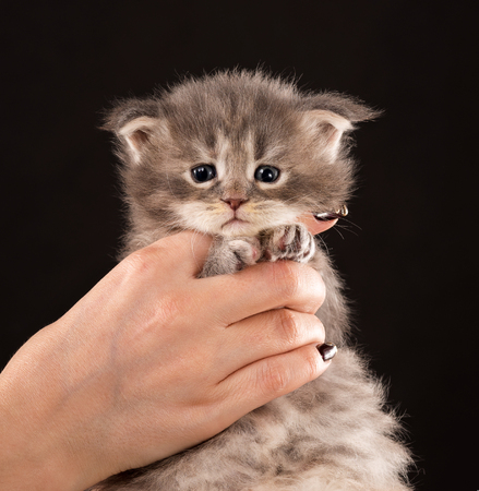 Fluffy Maine Coon kitten on the female hand over black background Stock Photo
