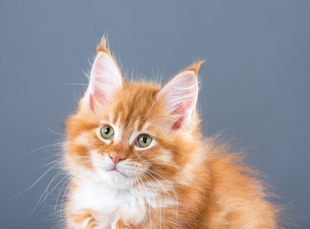 Fluffy Maine Coon kitten over grey background Stock Photo