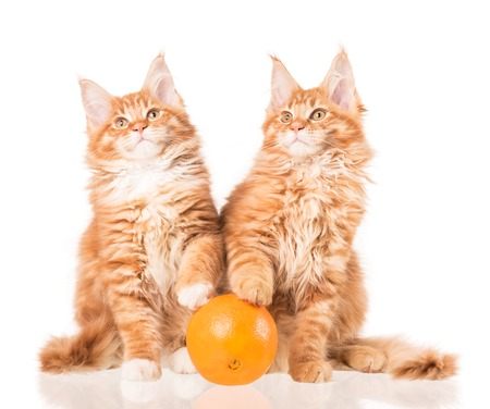 Fluffy Maine Coon kittens with fresh orange fruit isolated over white background Stock Photo
