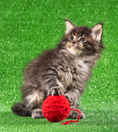 Maine Coon kitten with toy ball over green grass background