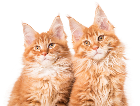 Fluffy Maine Coon kittens isolated over white background Stock Photo