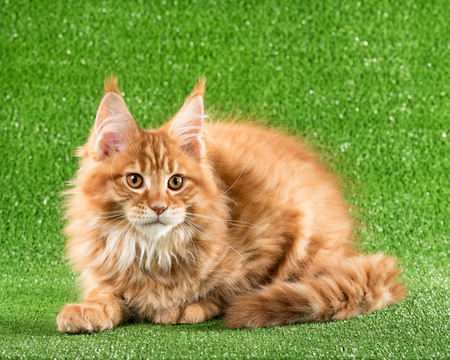 Cute Maine Coon kitten over green grass background Stock Photo
