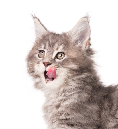 Fluffy Maine Coon kitten isolated over white background Stock Photo - 106940084