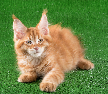 Cute Maine Coon kitten over green grass background Archivio Fotografico