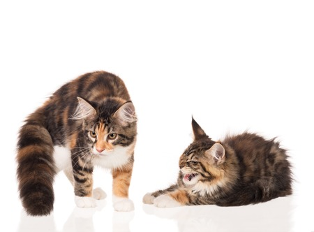 Cute Maine Coon kittens isolated over white background