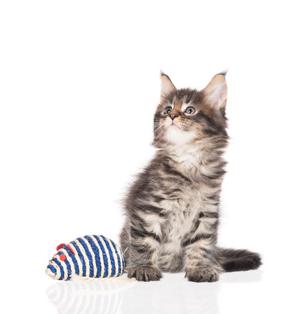 Maine Coon kitten with toy mouse isolated over white background Archivio Fotografico