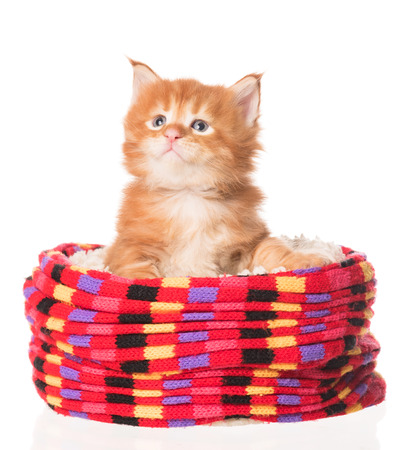 Cute Maine Coon kitten in the kitted scarf isolated over white background