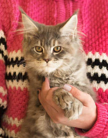 Fluffy Maine Coon kitten on the female hand isolated over white background Stock Photo