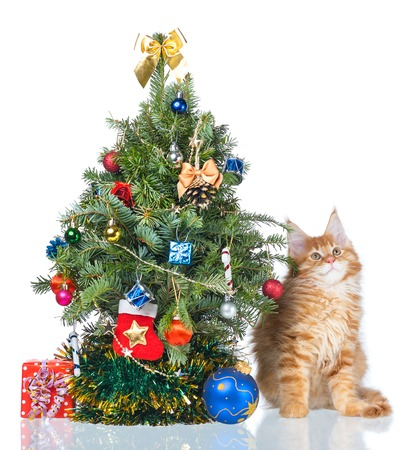 Fluffy Maine Coon kitten with New Year spruce isolated over white background