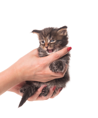 Fluffy Maine Coon kitten on the female hand isolated over white background Stock Photo - 115527414
