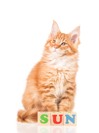 Maine Coon kitten with playing cubes isolated over white background