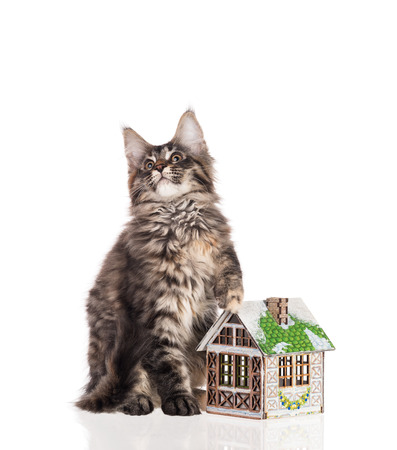 Maine Coon kitten with toy house isolated over white background Stock Photo