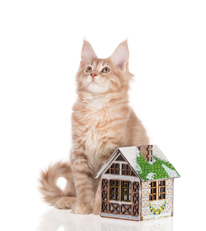 Maine Coon kitten with toy house isolated over white background Stock Photo - 115527485