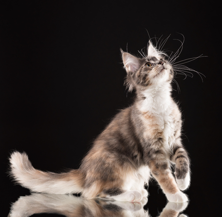 Fluffy Maine Coon kitten over black background Stock Photo - 115527520