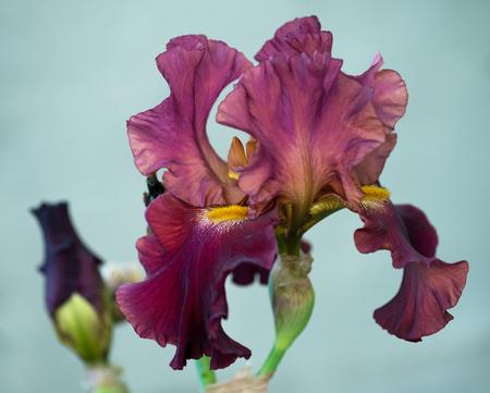 Bright plum iris flower over light blue background