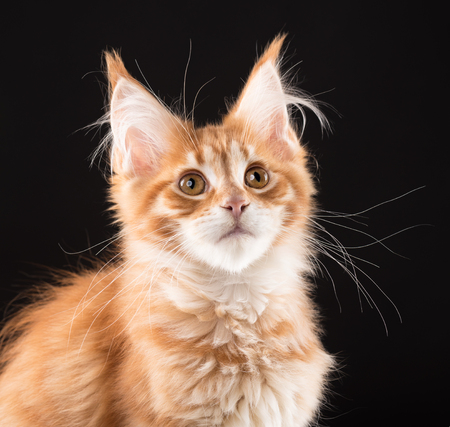 Portrait of fluffy Maine Coon kitten over black background