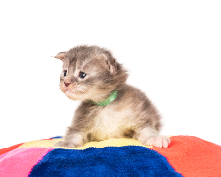 Fluffy Maine Coon kitten on the pillow isolated over white background