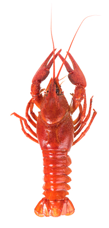 Prepared big crayfish isolated over white background cutout Фото со стока