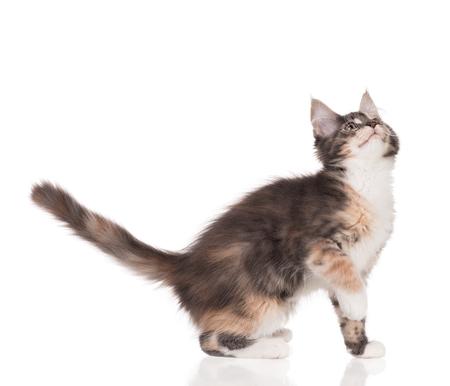 Fluffy Maine Coon Kätzchen lokalisiert über weißem Hintergrund