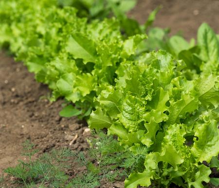 Fresh young green lettuce over organic soil background Reklamní fotografie