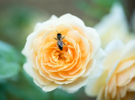 Fresh orange rose with bee over green background