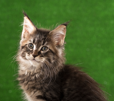 Portrait of Maine Coon kitten over green grass background Imagens